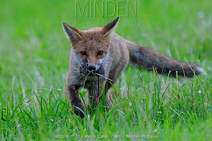 Red Fox (Vulpes vulpes) with rodent prey Vosges, France, July  -  Fabrice Cahez/ npl