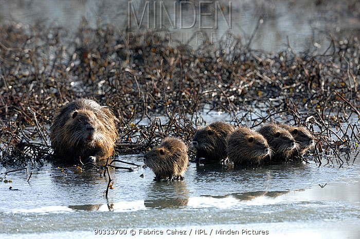 Coypu (Myocastor coypus) mother with offspring on ice by water River Allier, France, December  -  Fabrice Cahez/ npl
