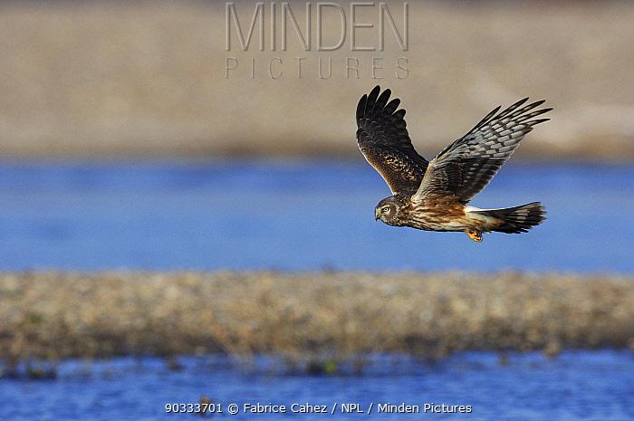 Northern, Hen Harrier (Circus cyaneus) female in flight River Allier, France, December  -  Fabrice Cahez/ npl