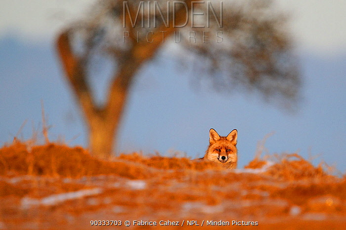 Portrait of a Red Fox (Vulpes vulpes) looking at the photographer Vosges, France, January  -  Fabrice Cahez/ npl
