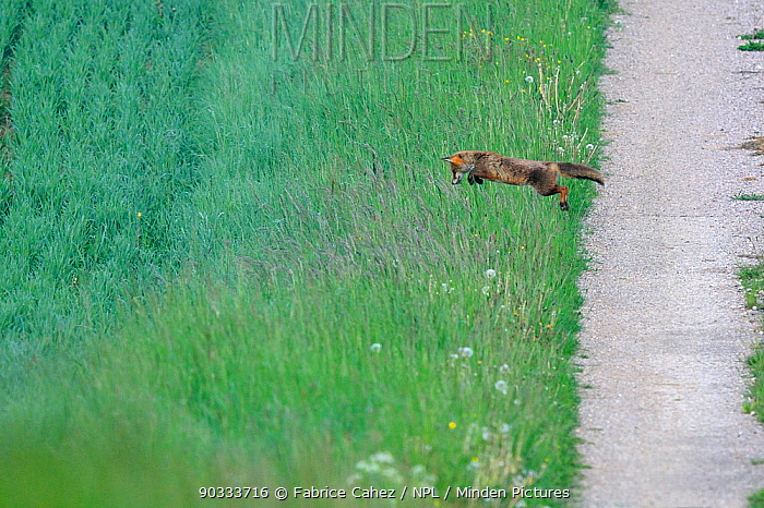 Red Fox (Vulpes vulpes) jumping from path to long grass Vosges, France, May Hunting sequence 2 of 3  -  Fabrice Cahez/ npl