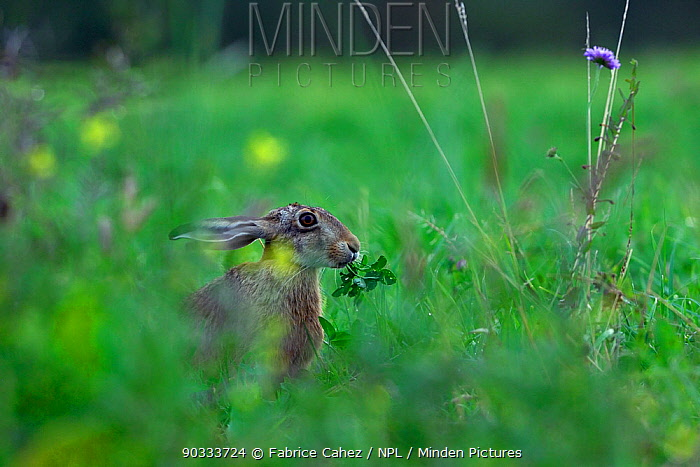 Hare (Lepus europaeus) in meadow Vosges, France, August  -  Fabrice Cahez/ npl