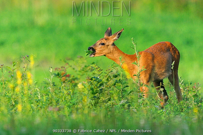 Roe Deer (Capreolus capreolus) doe feeding Vosges, France, July  -  Fabrice Cahez/ npl