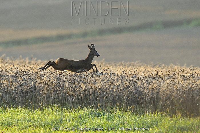 Roe Deer (Capreolus capreolus) male running through cereal crop Vosges, France, July  -  Fabrice Cahez/ npl
