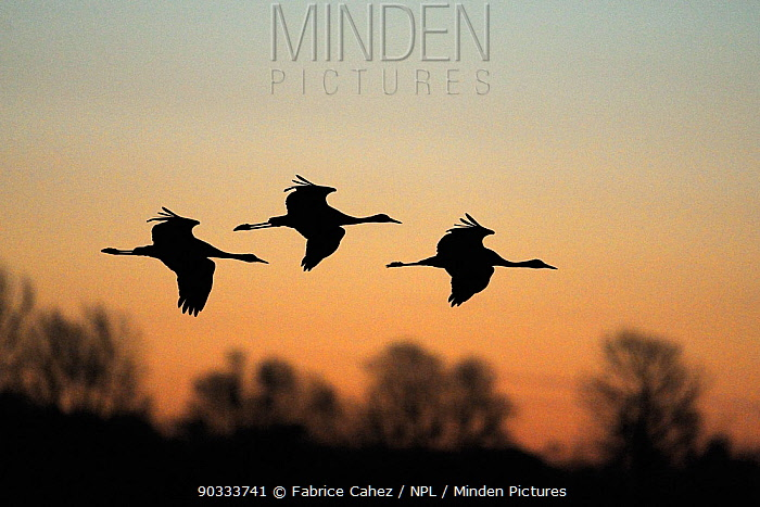 Three Common Crane (Grus grus) silhouetted in flight Lac du Der, Champagne, France, February  -  Fabrice Cahez/ npl