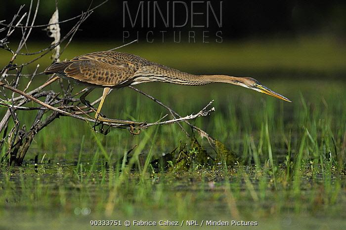 Purple Heron (Ardea purpurea) hunting by water River Allier, France, July  -  Fabrice Cahez/ npl