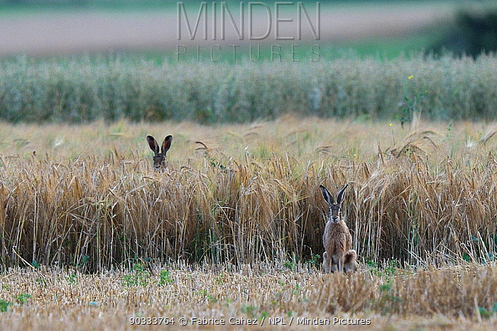 Hares (Lepus europaeus) on farmland, one with ears visible above the crop Vosges, France, July  -  Fabrice Cahez/ npl
