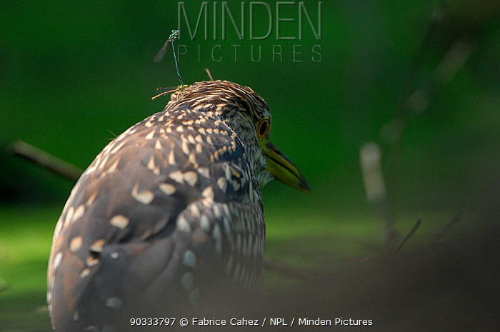 Young Black-crowned Night Heron (Nycticorax nycticorax) River Allier, France, July  -  Fabrice Cahez/ npl
