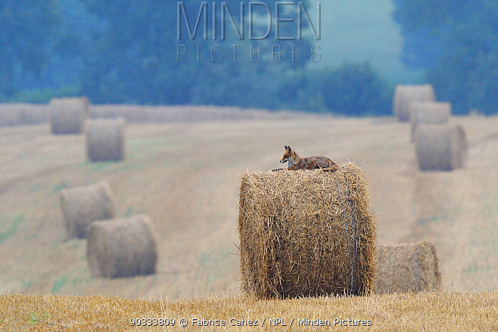Red Fox (Vulpes vulpes) resting on straw bale in field Vosges, France, July  -  Fabrice Cahez/ npl