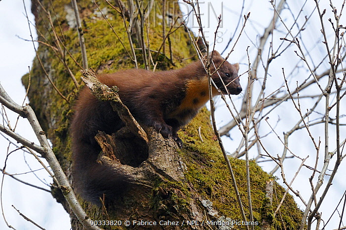 Pine Marten (Martes martes) up a tree The hole beneath it is its daytime den Vosges, France, April  -  Fabrice Cahez/ npl