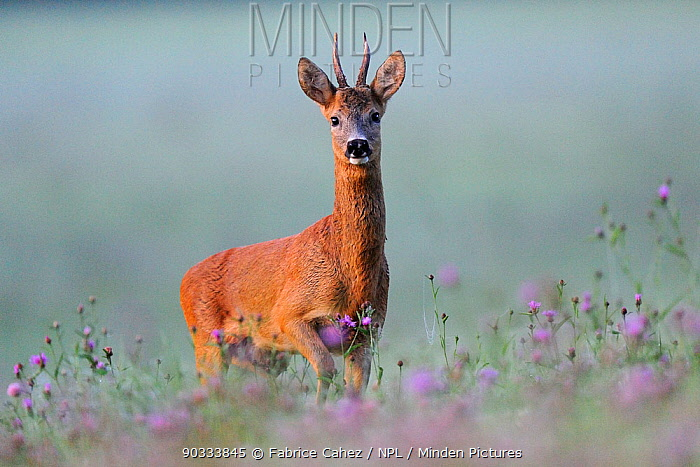 Portrait of a Roe Deer (Capreolus capreolus) buck in dawn light Vosges, France, July  -  Fabrice Cahez/ npl