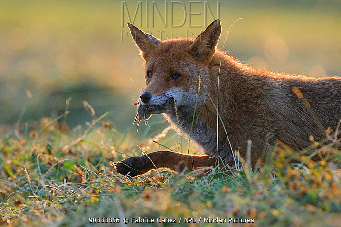 Red Fox (Vulpes vulpes) with rodent prey Vosges, France, June  -  Fabrice Cahez/ npl