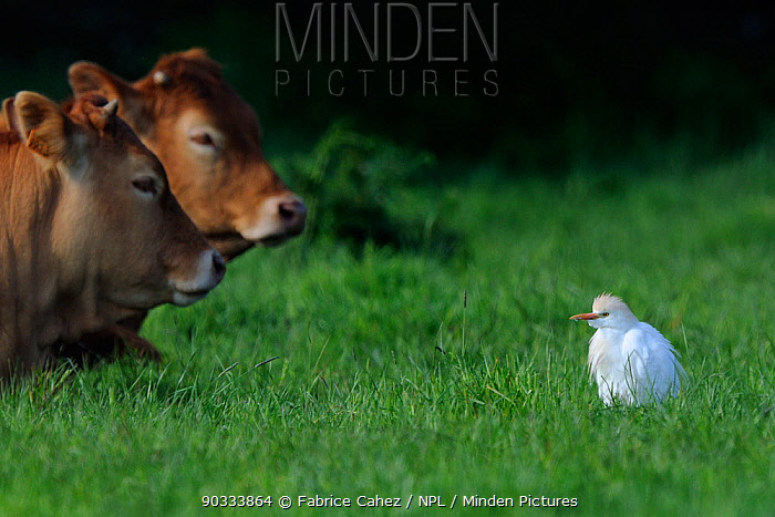Western Cattle Egret (Bubulcus ibis) in a field by domestic cattle River Allier, France, May  -  Fabrice Cahez/ npl