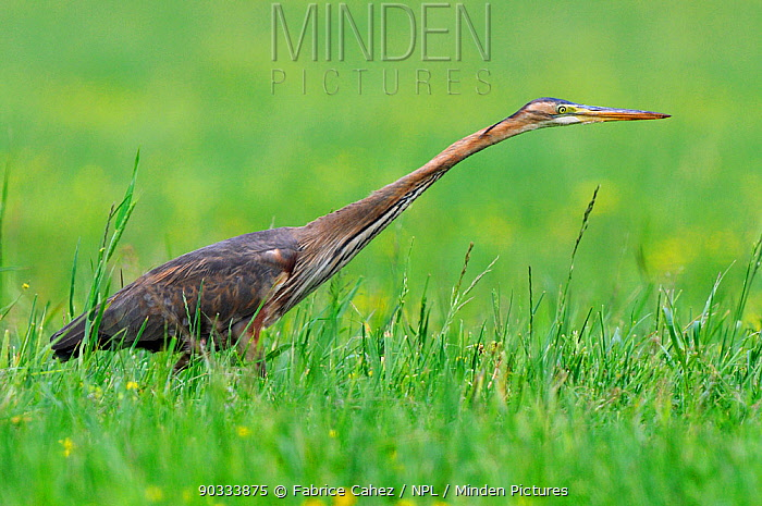 Purple Heron (Ardea purpurea) stalking rodent prey in grass River Allier, France, May Sequence 1, 2  -  Fabrice Cahez/ npl