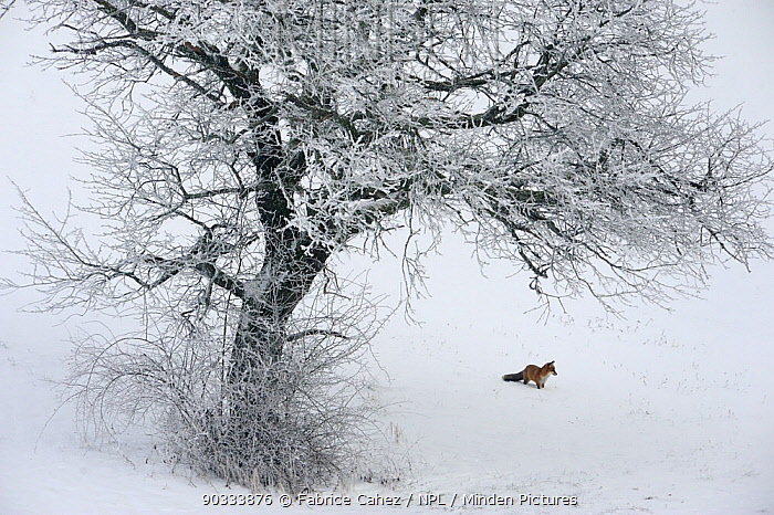 Red Fox (Vulpes vulpes) in distance in snow habitat Vosges, France, December  -  Fabrice Cahez/ npl