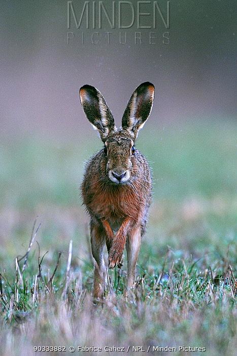 Portrait of a Hare (Lepus europaeus) running Vosges, France, April  -  Fabrice Cahez/ npl