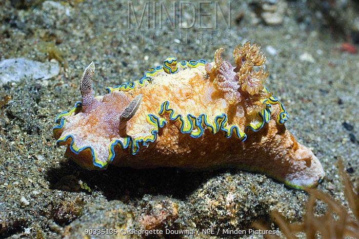 Nudibranch (Glossodoris cincta) Superfamily Cryptobranchia, family Chromodorididae Rinca, Komodo National Park, Indonesia  -  Georgette Douwma/ npl