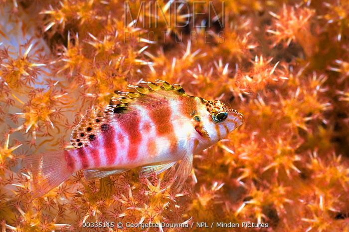 Spotted Hawkfish (Cirrhitychthys aprinus) with soft coral Rinca, Komodo National Park, Indonesia  -  Georgette Douwma/ npl
