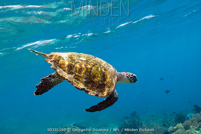 Hawksbill Turtle (Eretmochelys imbricata) swimming down after taking a breath Rinca, Komodo National Park, Indonesia  -  Georgette Douwma/ npl