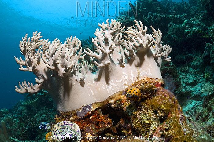 Leather Coral (Sinularia sp) Komodo National Park, Indonesia  -  Georgette Douwma/ npl