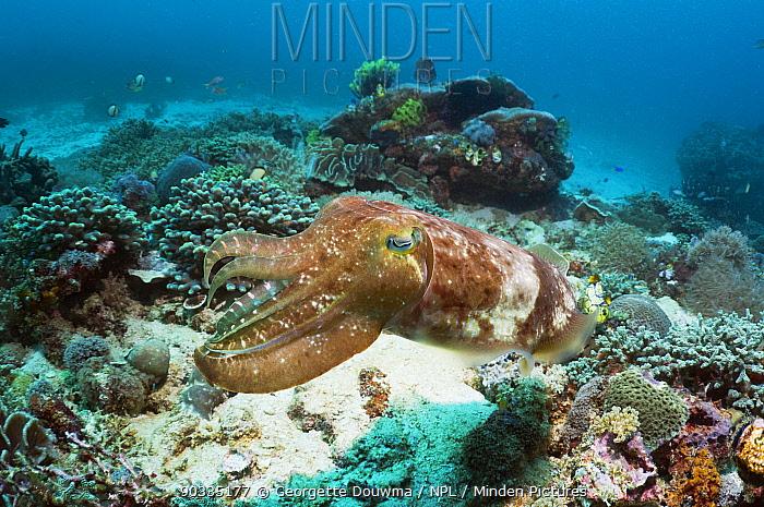 Broadclub Cuttlefish (Sepia Latimanus) Komodo National Park, Indonesia  -  Georgette Douwma/ npl