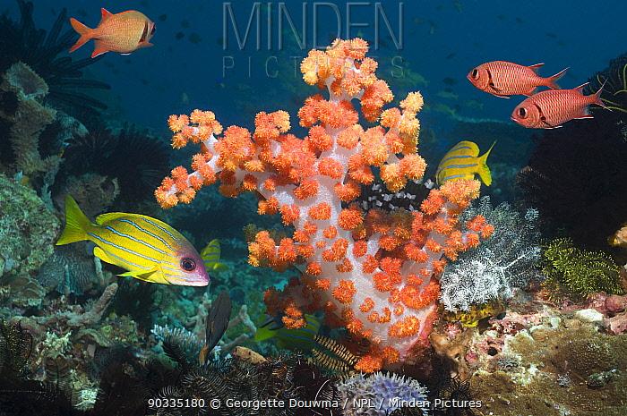 Soft Coral (Dendronephthya sp) with Blueline snappers (Lutjanus kasmira) Rinca, Komodo National Park, Indonesia  -  Georgette Douwma/ npl