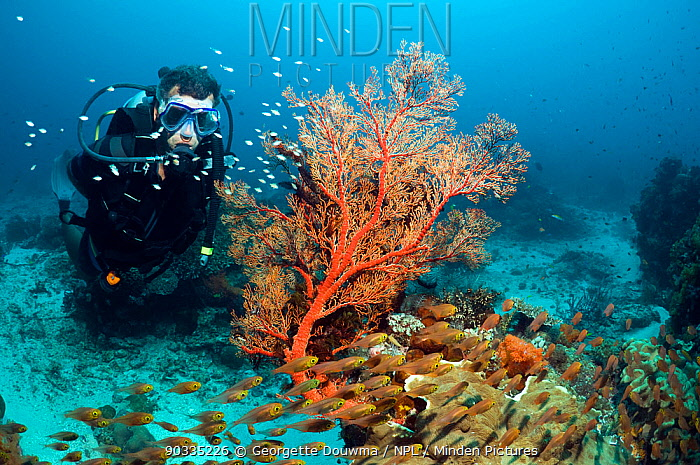 Male scuba diver with Gorgonian (Gorganacae) and Sweepers on coral reef Komodo National Park, Indonesia  -  Georgette Douwma/ npl