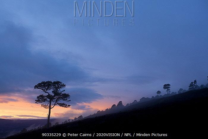 Lone Scots pine (Pinus sylvestris) silhouetted on ridge at dusk, Glenfeshie, Cairngorms NP, Scotland, UK, November 2010  -  Peter Cairns/ 2020V/ npl