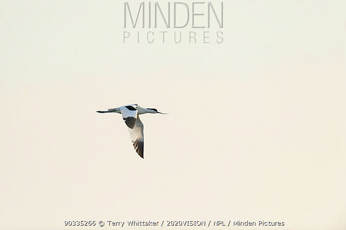 Avocet (Recurvirostra avosetta) in flight, Thames Estuary, Elmley Marshes RSPB reserve, North Kent, UK, April 2011  -  Terry Whittaker/ 2020V/ npl