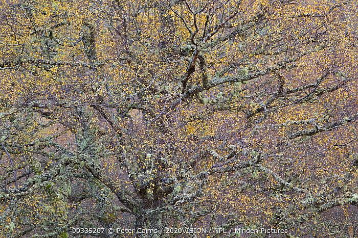 Large Silver birch (Betula pendula) tree in autumn foliage, Glen Affric, Highland, Scotland, UK, February 2010  -  Peter Cairns/ 2020V/ npl