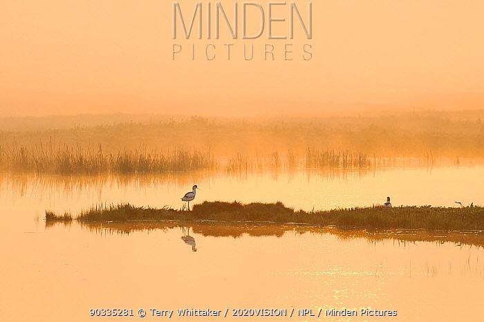 Avocet (Recurvirostra avosetta) in mist on grazing marsh at dawn, Thames Estuary, Elmley Marshes RSPB reserve, North Kent, UK, April 2011  -  Terry Whittaker/ 2020V/ npl