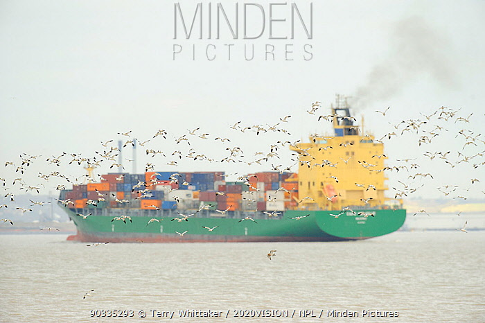 Flock of Avocet (Recurvirostra avosetta) in flight with container ship in background, site of new DP World London Gateway container port, River Thames, Essex, UK, March 2011  -  Terry Whittaker/ 2020V/ npl
