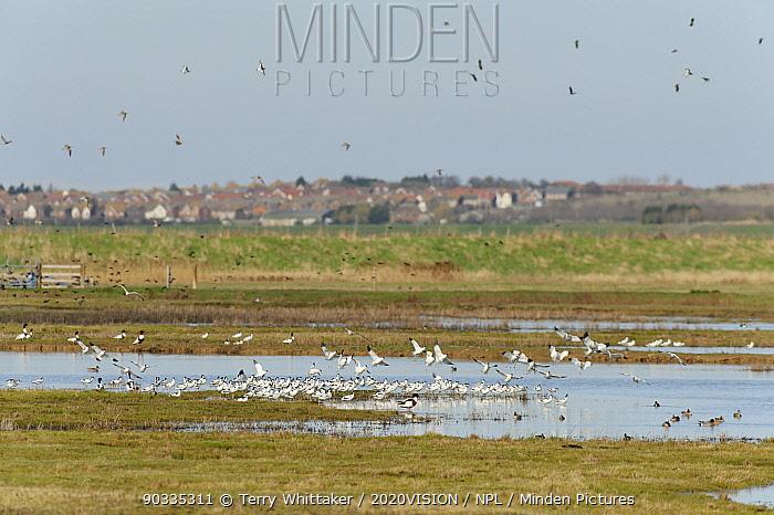 Flock of Avocet (Recurvirostra avosetta) in flight over grazing marsh, Thames Estuary, Elmley Marshes RSPB reserve, North Kent, UK, April 2011  -  Terry Whittaker/ 2020V/ npl