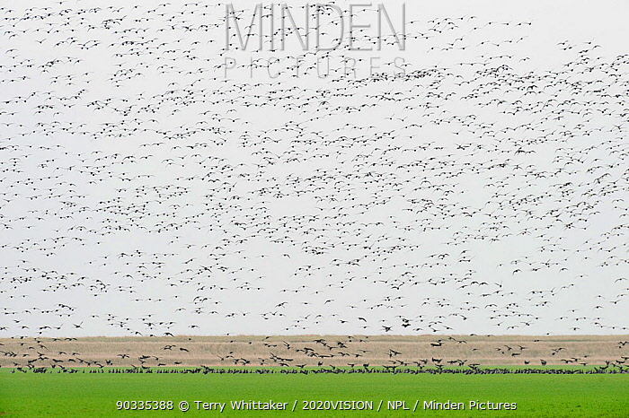 Huge flock of Dark-bellied brent geese (Branta bernicla) flying over wetlands and landing, Wallasea Island RSPB reserve, Essex, UK, February 2011  -  Terry Whittaker/ 2020V/ npl