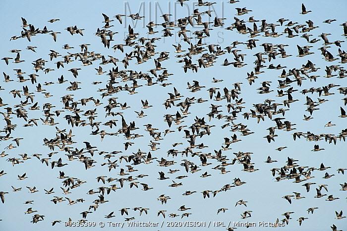 Flock of Dark-bellied brent geese (Branta bernicla) in flight over wetlands, Wallasea Island RSPB reserve, Essex, UK, February 2011  -  Terry Whittaker/ 2020V/ npl