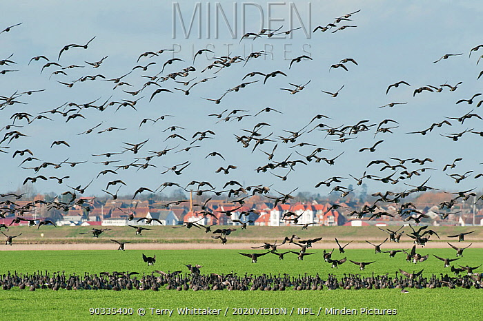Flock of Dark-bellied brent geese (Branta bernicla) in flight over arable field on wetlands and landing, Wallasea Island RSPB reserve, with Burnham-on-Crouch in the background, Essex, UK, February 2011  -  Terry Whittaker/ 2020V/ npl
