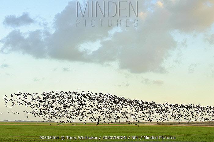 Flock of Dark-bellied brent geese (Branta bernicla) flying over arable land on wetlands, Wallasea Island RSPB reserve, Essex, UK, February 2011  -  Terry Whittaker/ 2020V/ npl