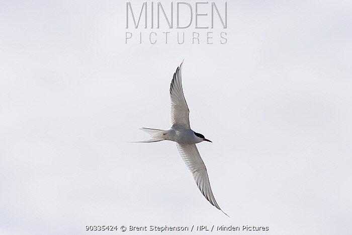 Arctic Tern (Sterna paradisaea) in flight from below Poolepynten, Svalbard, June  -  Brent Stephenson/ npl