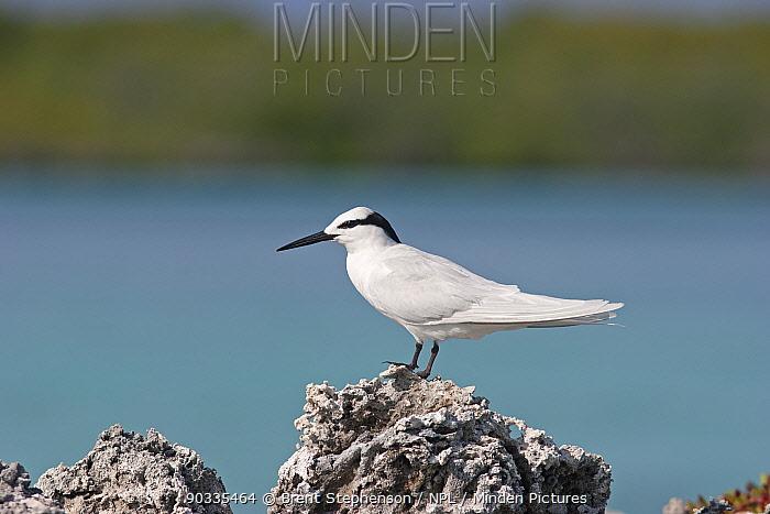 Black-naped Tern (Sterna sumatrana mathewsi) standing on a rock Aldabra Atoll, Seychelles  -  Brent Stephenson/ npl