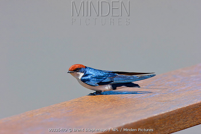 Wire-tailed Swallow (Hirundo smithii) perched on a wooden railing St Lucia Wetlands, Natal, South Africa, January  -  Brent Stephenson/ npl
