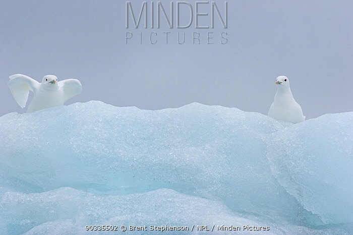 Ivory Gulls (Pagophila eburnea) perched on an iceberg, one just about to take off Van Keulenfjord, Svalbard, July  -  Brent Stephenson/ npl
