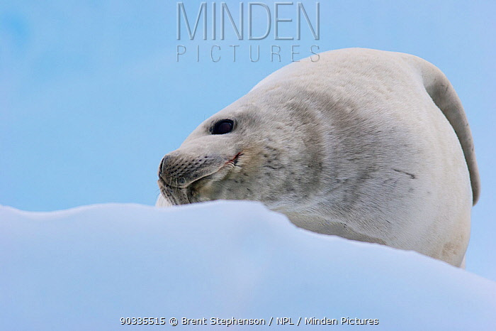 Crabeater Seal (Lobodon carcinophaga) hauled out on ice Pleneau Island, Antarctica, January  -  Brent Stephenson/ npl
