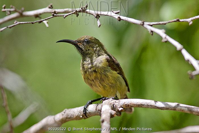 Female Souimanga Sunbird (Cinnyris, Nectarinia souimanga) perched Aldabra Atoll, Seychelles  -  Brent Stephenson/ npl