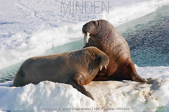 Young Walrus (Odobenus rosmarus) resting sea ice North-west Svalbard, June  -  Brent Stephenson/ npl