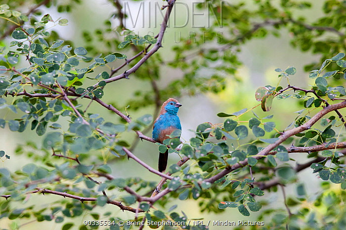 Blue-breasted Cordonbleu, Blue Waxbill (Uraeginthus angolensis) perched in a bush Near the Limpopo River, South Africa, January  -  Brent Stephenson/ npl