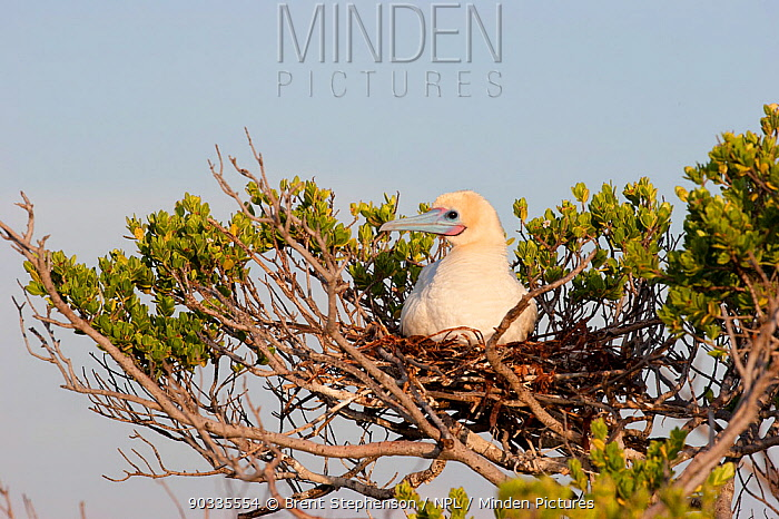 Adult Red-footed Booby (Sula sula) sitting on its nest in the branches of a shrub Ile du Nord, Cosmoledo Atoll, Seychelles  -  Brent Stephenson/ npl