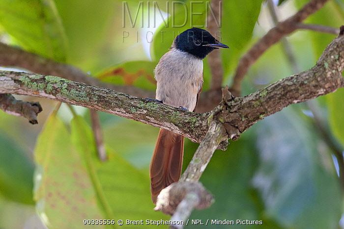 Female Seychelles Paradise Flycatcher (Terpsiphone corvina) perched in a tree La Digue, Seychelles  -  Brent Stephenson/ npl