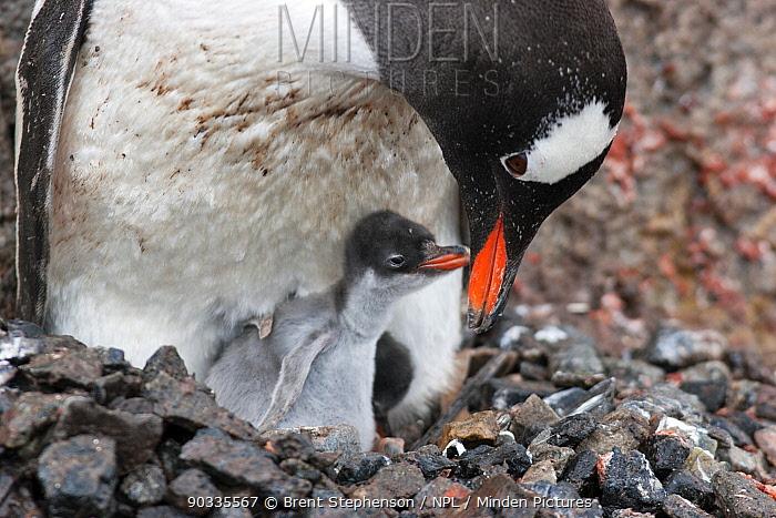 Gentoo Penguin (Pygoscelis papua) feeding a young chick Port Lockroy, Antarctica, January  -  Brent Stephenson/ npl