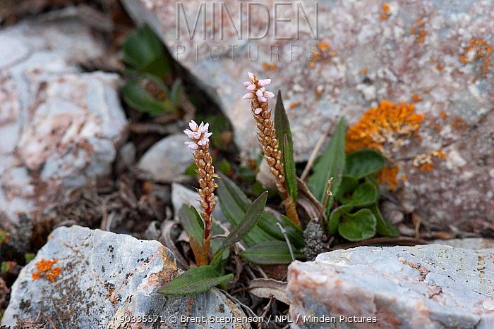 Alpine bistort or knotweed (Polygonum viviparum) in flower Blomstrandhalvoya, Krossfjord, Svalbard  -  Brent Stephenson/ npl