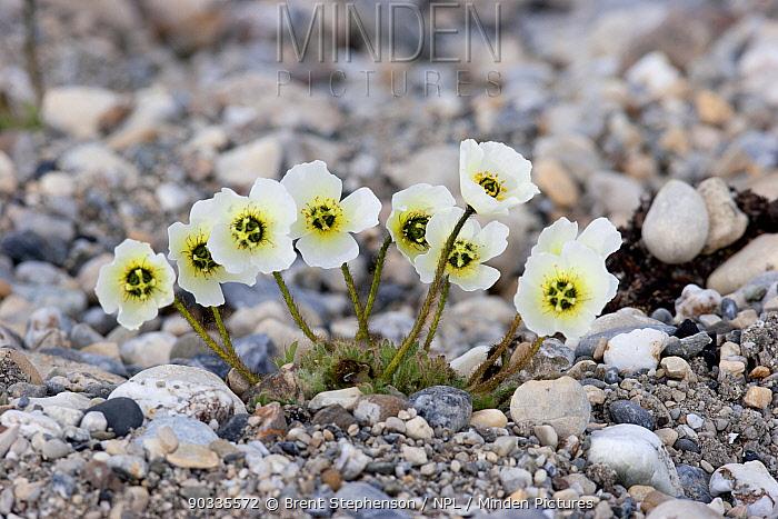 Svalbard poppy (Papaver dahlianum) with white flowers growing amongst the stones Gashamna, Hornsund, Svalbard, July  -  Brent Stephenson/ npl